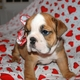 Pretty Male And Female English Bulldog Puppies For Free Adoption