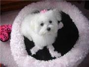 adorable maltese puppy for adoption