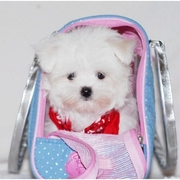 Spunky  Maltese Puppies For Free Adoption(Potty Trained)