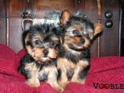 cute male and female adorable teacup yorkie puppies ready for adoption