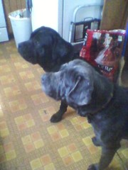 Cane Corso Puppies Due in April