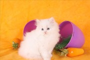 cute adorable female white teacup doll face Persian kitten for adoptio