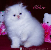 cute and loving Persian kittens for re-homing