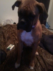 1 year old female boxer