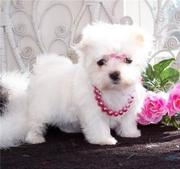AKC Maltese Puppies For Free Adoption