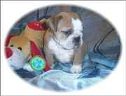 Cute english bulldog for free adoption