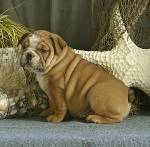 Well Socialized English bulldog Puppies For Sale