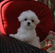 Adorable Male and Female Maltese Puppies For Free Adoption