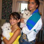 X-mas Maltese puppies for adoption