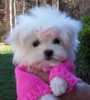 maltese puppies for good homes