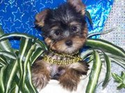 Wow Tea Cup Yorkie Puppies For Free Adoption
