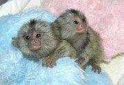 Baby Marmoset Monkeys for Adoption