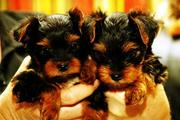 cute and adorable yorkie puppies to loving homes