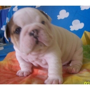 Lovely female english bulldog puppy for a good home