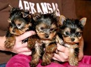 Talanted teacup yorkie puppies for free adoption