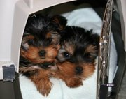 cute andf lovely yorkie puppies for free adoption