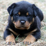 Looks Like a Mini Rottweiler  - 3 pounds