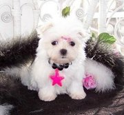 Adoarble Maltese Puppies For Free Adoption
