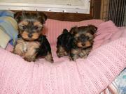 Awesome Male and Female Yorkie Puppies for Adoption