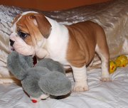 Adorable English bulldog puppies for Free adoption