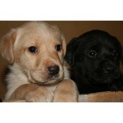 wo Lab puppies (male and female) for free adoption