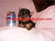 AKC Registered Male And Female Baby Face Teacup Yorkie Puppies For Ado