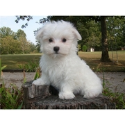 Female Maltese puppy for sale