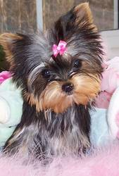 outstanding yorkie puppies for free adoption