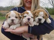 WOW!!! Healthy English Bulldog Puppies