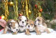 CUTE PURE BREED ENGLISH BULLDOG PUPPIES