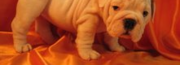 Free Male & Female English Bulldog Puppies For Adoption