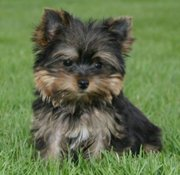 ***yorkie puppies for Adoption***