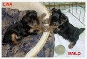 Adorable Tea Cup Yorkie Puppies For Free.