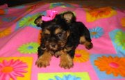 two sweet Yorkie puppies male and female looking for good homes.