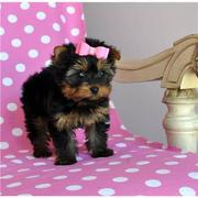 Cute And Marvelous  Teacup Yorkie Puppy For Good Home