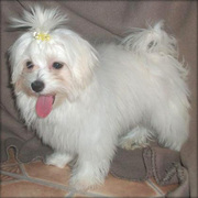 i am offering a female Maltese puppy for adoption