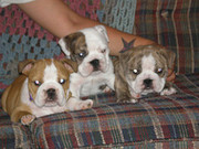 up to date quality purebred english bulldog pups needs a home.