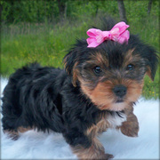 lovely and cute Male And Female yorkie  Puppies Ready  To Go