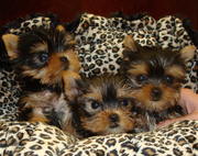 Adorable Yorkie Puppies For Free Adoption