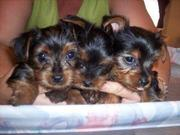 Healthy best quality tea cup yorkie puppies.