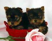 Mimi and Milo  Tea Cup Yorkie Free Adoption.(tracymoorgan@yahoo.com)