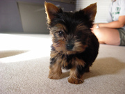 Adorable Yorkie Puppies ready for Adoption.