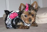 Cute Yorkie Pupies For Free Adoption