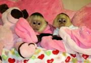 Adorable Male And Female Capuchin Monkeys For Adoption