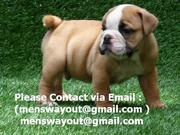 Wow!!! English Bulldog Puppies Available