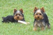 Yorkies for Re-homing(male and female)