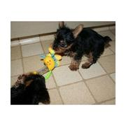 $67 Male $67 Female  Tea Cup Yorkie Puppies