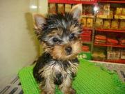Yorkie Babies Ready For their new homes for adoption