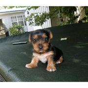 Cute And Healthy Male And Female Yorkie Puppies For Re-Homing