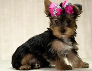 lovely Male and Female Yorkie Puppies For Adoption